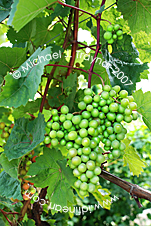 Wine Grapes, Germany